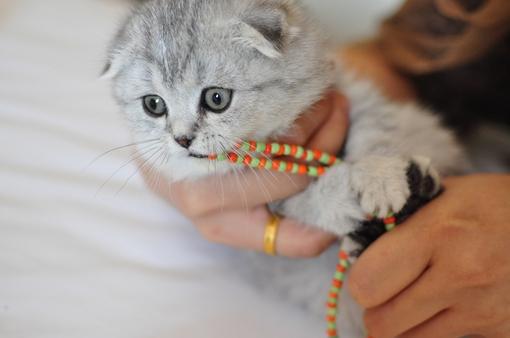 可爱猫咪图片 折耳猫咪